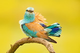 Roller with catch in nature. Birdwatching in Hungary. Nice colour light blue bird European Roller sitting on the branch with open bill, blurred yellow background. Wildlife scene from Europe nature. - 181608300