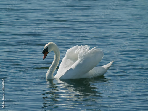 Fotobehang Zwaan Adult Mute Swan (Cygnus olor) engaging in busking or threat display