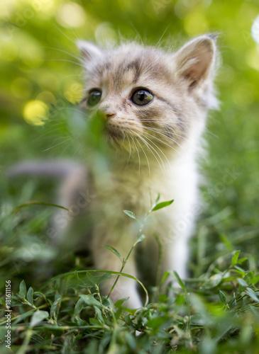 Foto op Aluminium Gras little kitten is walking in green grass outdoors