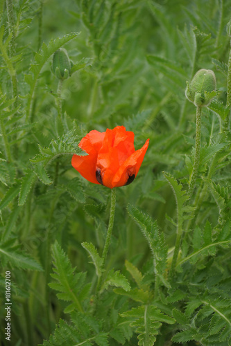 Foto op Aluminium Groene Red Poppy is isolated on a green background.Floral border - flower decoration