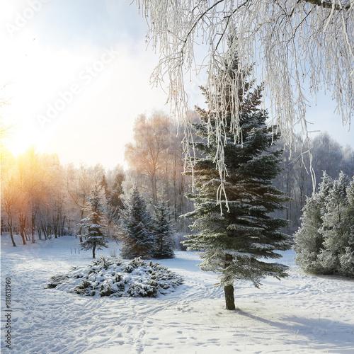 Plexiglas Berkenbos Snow-covered trees in the city park.
