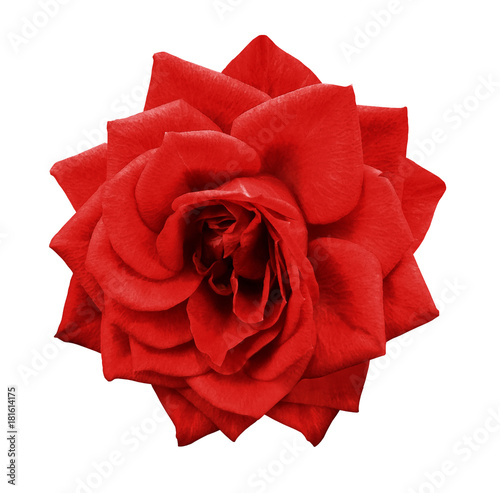 Foto op Aluminium Rood traf. Rose red flower on white isolated background with clipping path. no shadows. Closeup. For design. Nature.