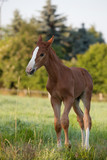 Mare with a foal on the pasture