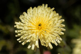 Smooth Golden Fleece (Urospermum dalechampii) - 181620381