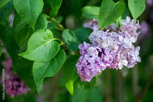 Close up of blossoming lilac branches in spring - selective focus, copy space