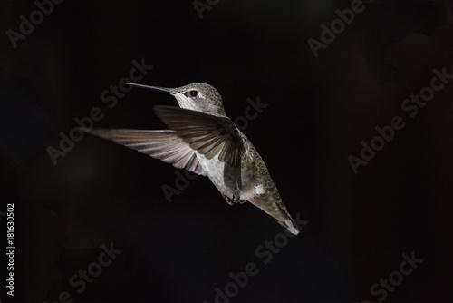 Anna Hummingbird (Calypte Anna) w locie