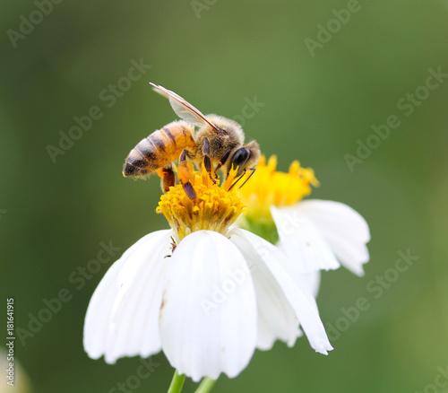Aluminium Bee bee isolated on flower