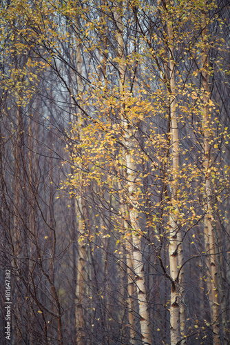 Foto op Aluminium Herfst Autumn yellow leaves on Birch Tree's in a Cumbrian forest.
