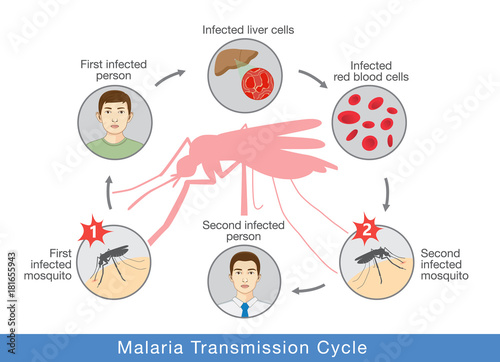 Illustration showing Malaria transmission cycle. Step of infections in people with mosquito. - 181655943