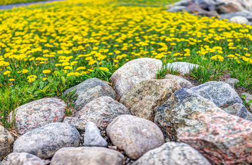 Plexiglas Geel Field of yellow dandelion flowers by colorful rocks