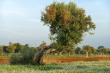 Olive tree among field flowers in salento - italy - 181680122