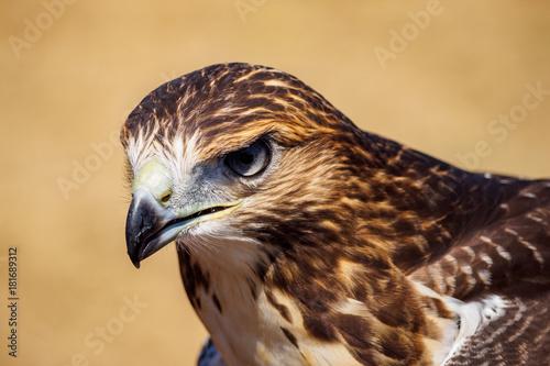 Hawk Poster