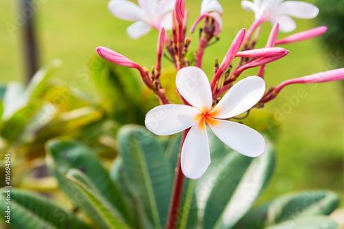 Plexiglas Plumeria Plumeria white flower