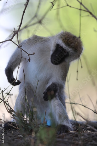 Fotobehang Aap Vervet Monkey