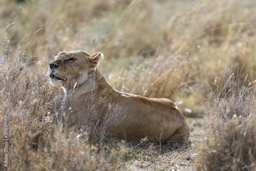 Fotobehang Lion Lioness