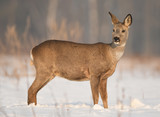 Roe deer (Capreolus capreolus) - 181721714