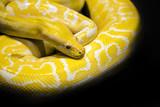 python snake black background - 181732951