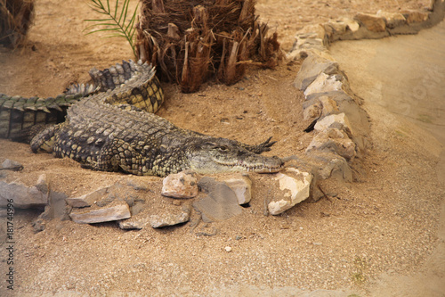 Crocodile lying on the sand Poster