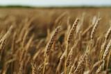 Wheat, field, summer, horizon, sky, autumn, farm
