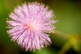 Mimosa pudica or sensitive plant - 181752925