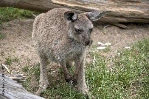 Fotobehang Kangoeroe Kangaroo-Island kangaroo
