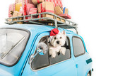 White Terrier in car with christmas gifts