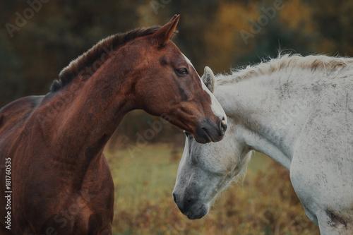 Plexiglas Paarden Love and tenderness of horses in the herd