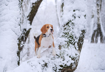 Beagle dog walking in the winter snowy forest