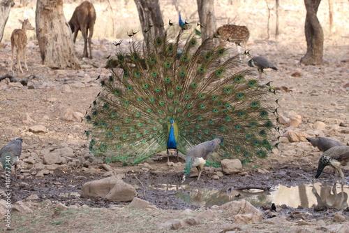 Aluminium Pauw Peacock in Ranthambore National Park, India