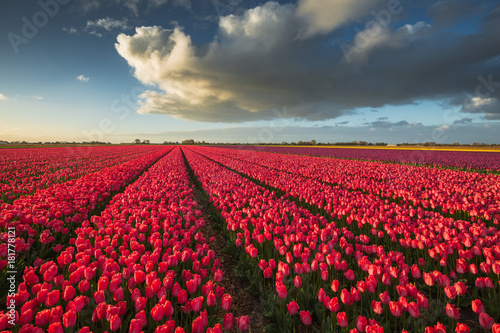 Fotobehang Tulpen Color of Holland. Tulips fields.