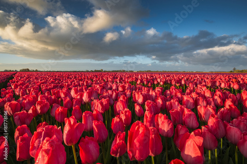 Deurstickers Bordeaux Color of Holland. Tulips fields.