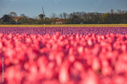 Plexiglas Klaprozen Color of Holland. Tulips fields.