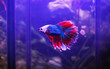 Leinwandbild Motiv blue and red of fighting fish in aquarium