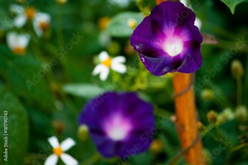 Plexiglas Iris Morning Glory