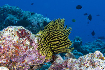 crinoid underwater while diving