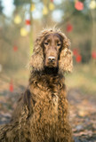 Vertical photo of a cute Irish Setter dog as looking at the camera - 181796731