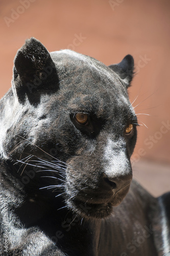 Plexiglas Panter Close up side portrait of black jaguar panther