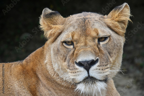 Close up portrait of female African lioness Poster