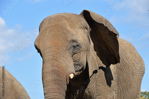 Extreme close up half profile portrait of elephant Poster