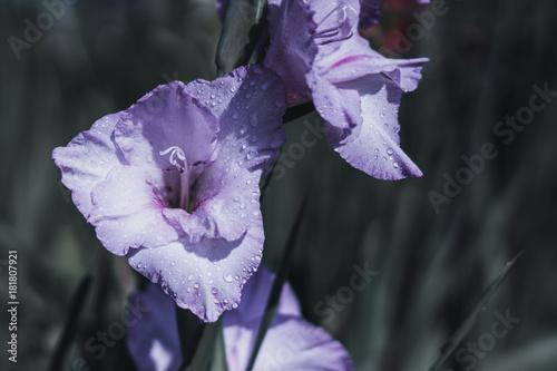 Plexiglas Iris violette blüte mit tropfen