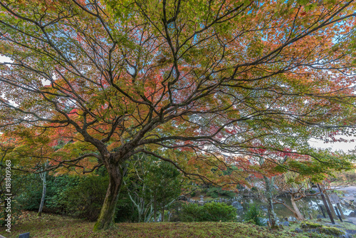 Staande foto Kyoto Momiji (Maple tree) Autumn colors, Fall foliage at Maruyama park (Maruyama-Kouen) Located near Yasaka shrine, Kyoto, Japan