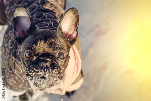 Foto op Canvas Franse bulldog surprise french bulldog in jumpsuit in the winter