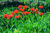 Bright saturated red tulips in the garden greenery. Spring flower buds. Natural gardening background.