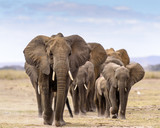 Elephant herd walking directly toward camera - 181829922