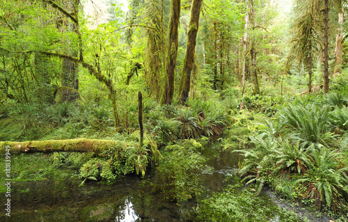 Panorama of Temperate Rainforest, Olympic National Park