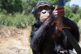 Chimpanzé - 181841551