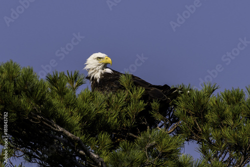 Plexiglas Eagle Bald Eagle