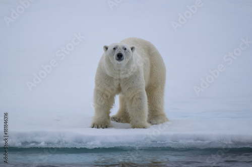 Fotobehang Ijsbeer Polar Bear on Ice Flows north of Svalbard, Norway