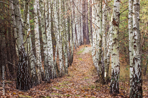 path leads through a birch grove resting in a pine forest