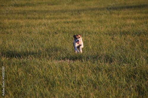 Keuken foto achterwand Gras Running Dog
